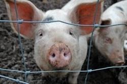 В Новоодесском районе зафиксировали вспышку африканской чумы свиней