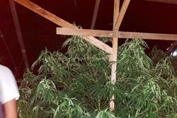 В Новоодесском районе ликвидировали «оранжерею» конопляных деревьев (Фото)